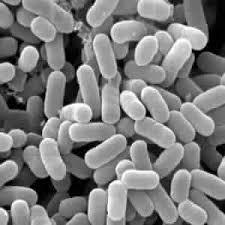 乳酸菌.jpg